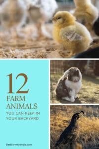 12 Farm Animals You can raise in your backyard (1)