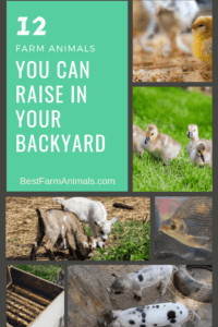 12 farm animals that can be raised in the suburbs (1)