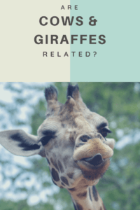 Are cows and girraffs related (1)