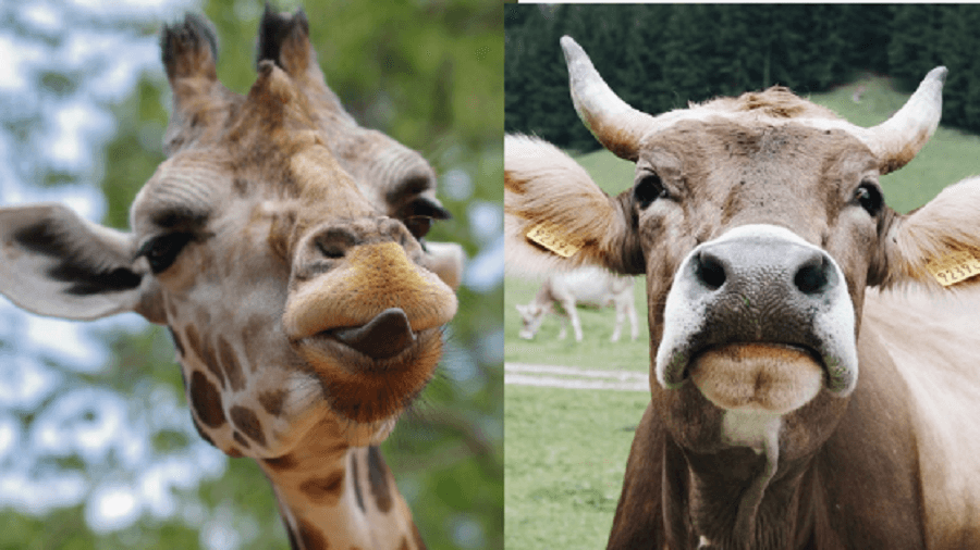 Are cows & girrafes related_