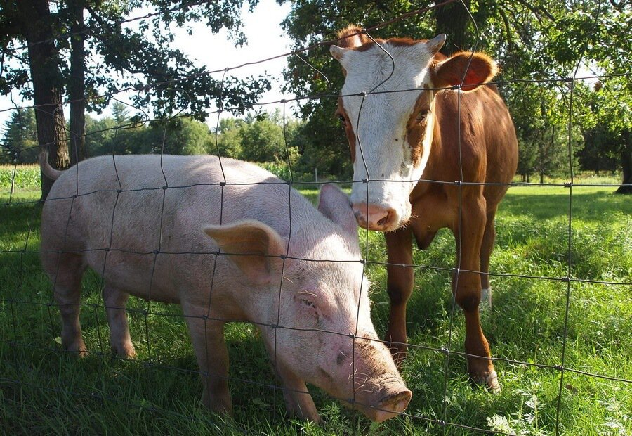 Are cows or pigs more profitable