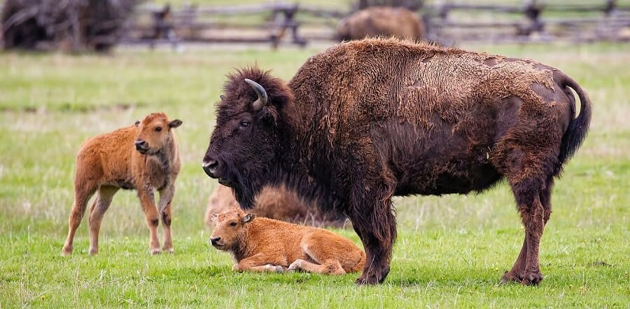 Are cows related to buffalo