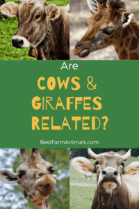 Are giraffes and cows related (1)