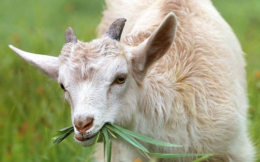Are goats cheaper than sheep