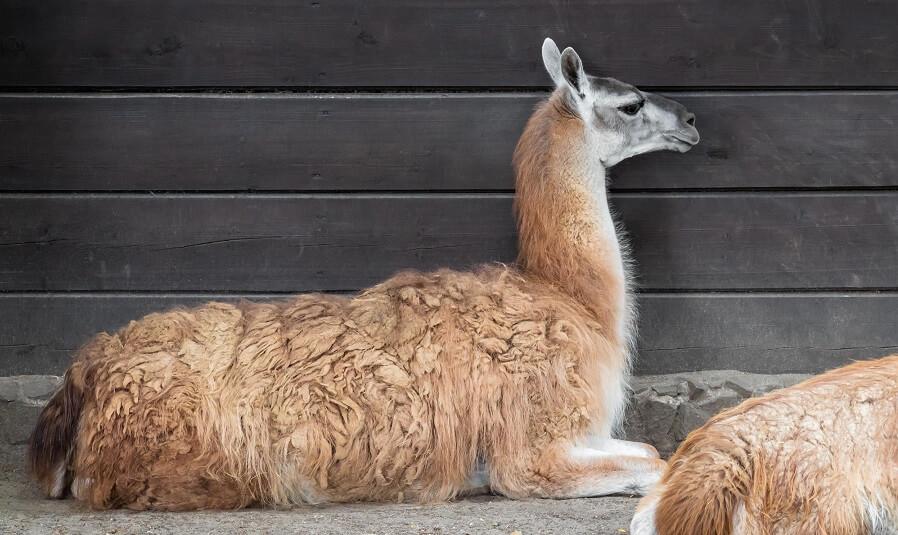 Backyard farm animals alpacas