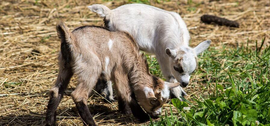Backyard farm animals goats
