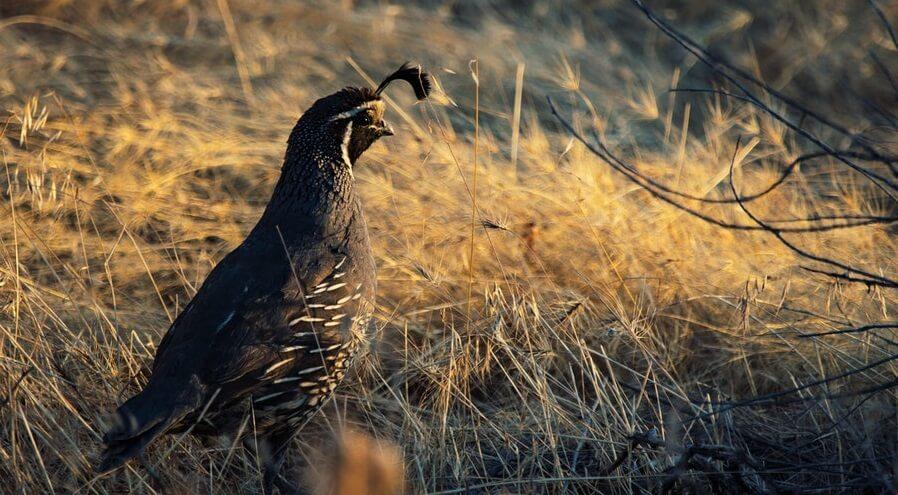 Backyard farm animals quail