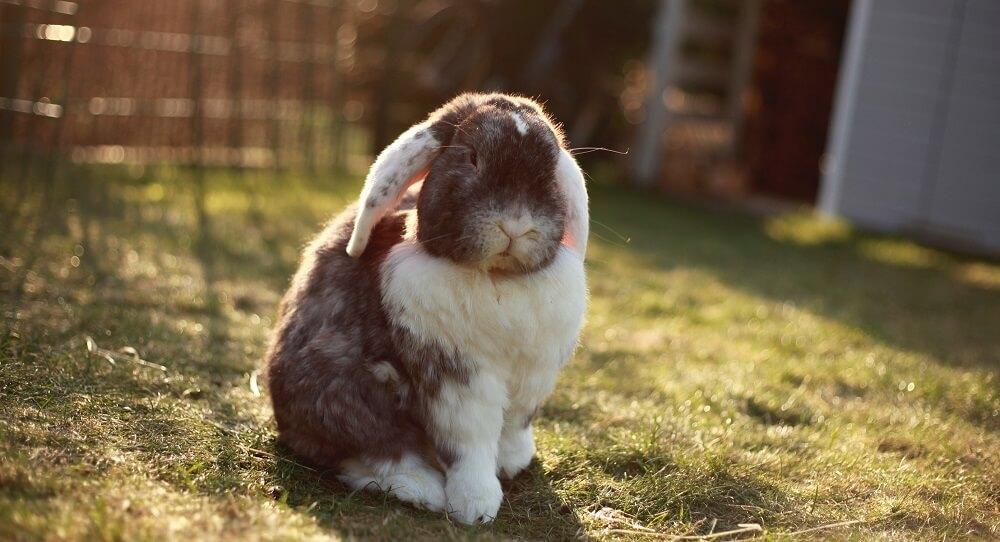 Backyard farm animals rabbit