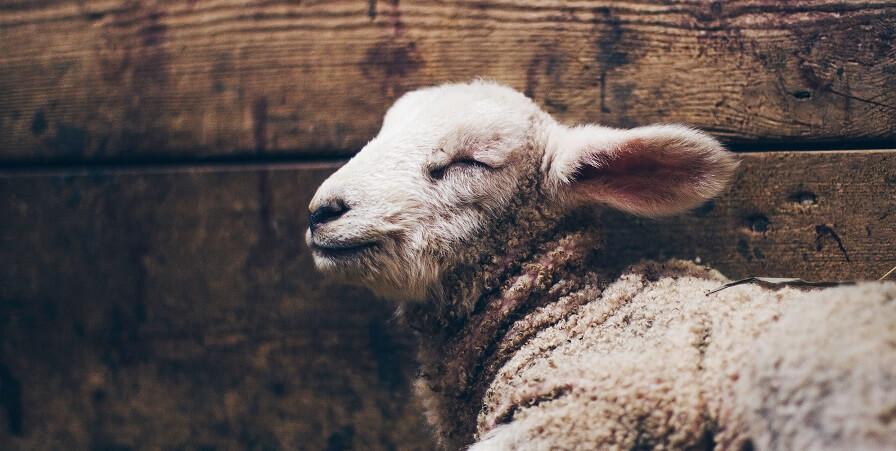 Backyard farm animals sheep