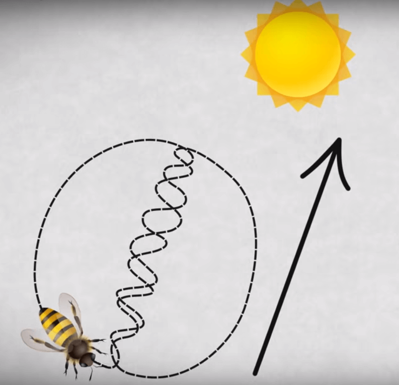 Bee waggle dance tells where the food is