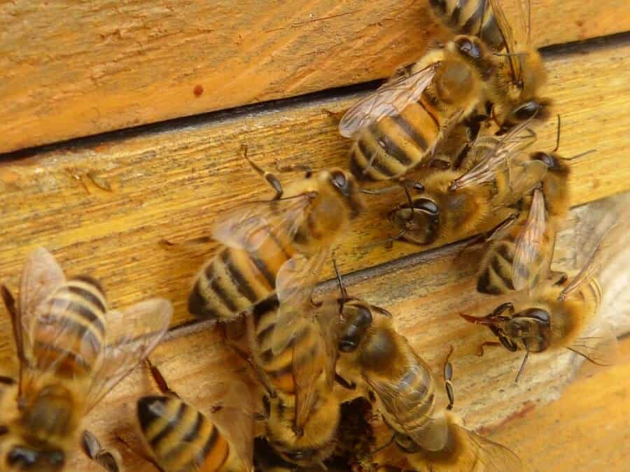 Bees guard a beehive