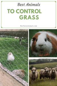 Best Animals to eat grass (1)