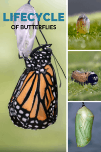 Butterfly lifecycle (1)