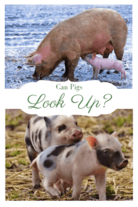 Can Pigs look up (1)