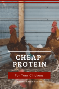 Cheap protein for chickens (1)
