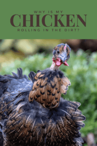 Chickens roll in dirt (1)
