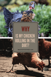 Chickens roll in the dirt (1)