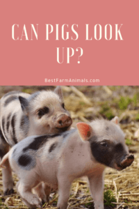 Do pigs look up (1)