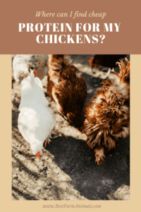 Find cheap protein for your chickens (1)