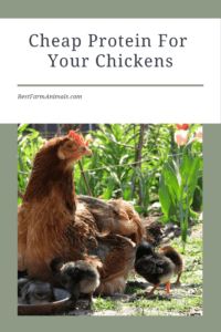 Get cheap protein for your chickens (1)