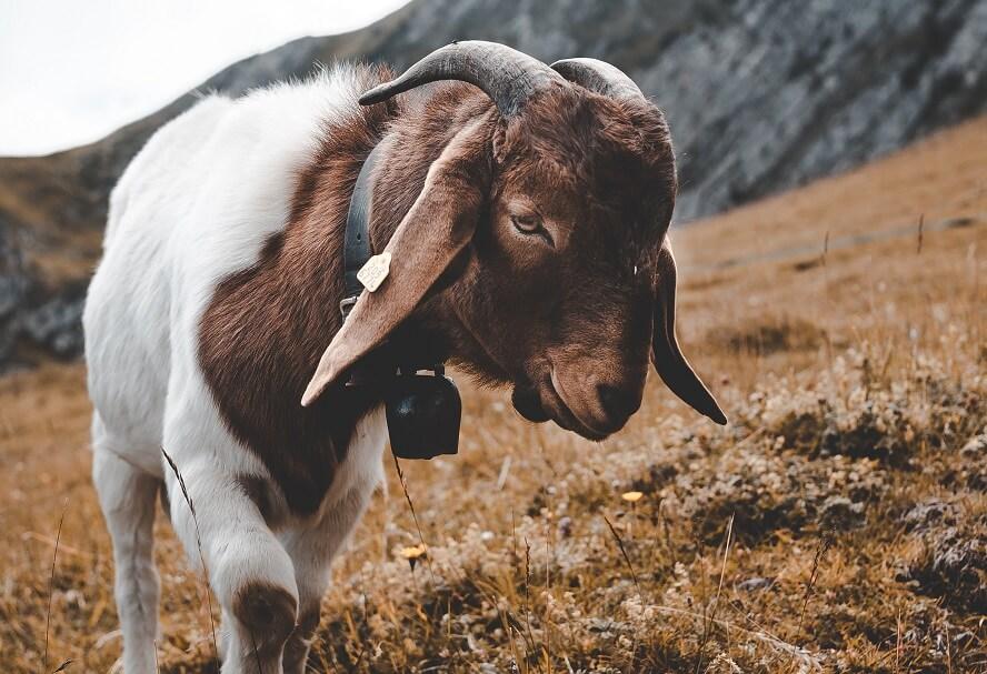 Goats help control grass