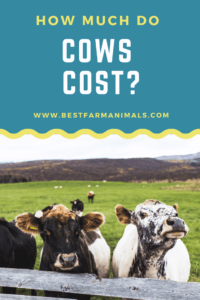 How much do cows cost (1)