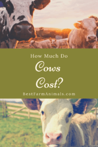 How much is a cow to buy (1)