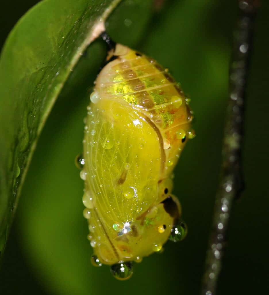 How to grow a butterfly Pupa