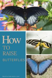 How to raise butterflies (4) (1)