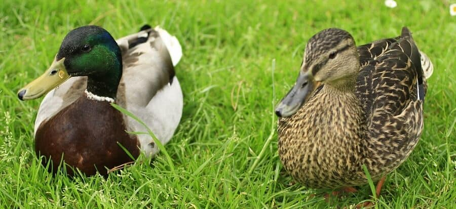 What's The Best Duck? A Complete Guide To Choosing The Right