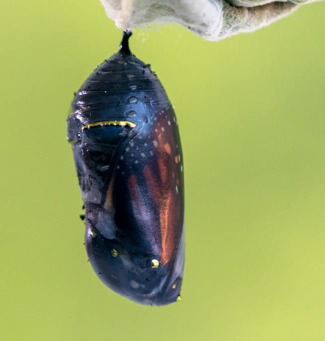 Monarch Butterfly Pupa Nearly Complete