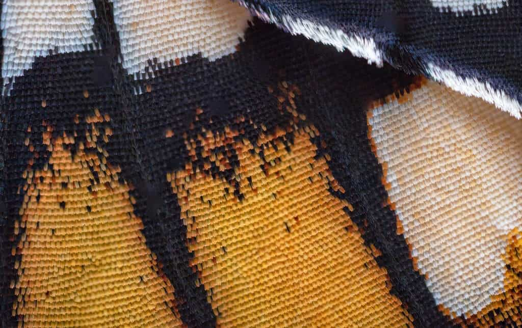 Monarch Butterfly Wing Scales Close Up