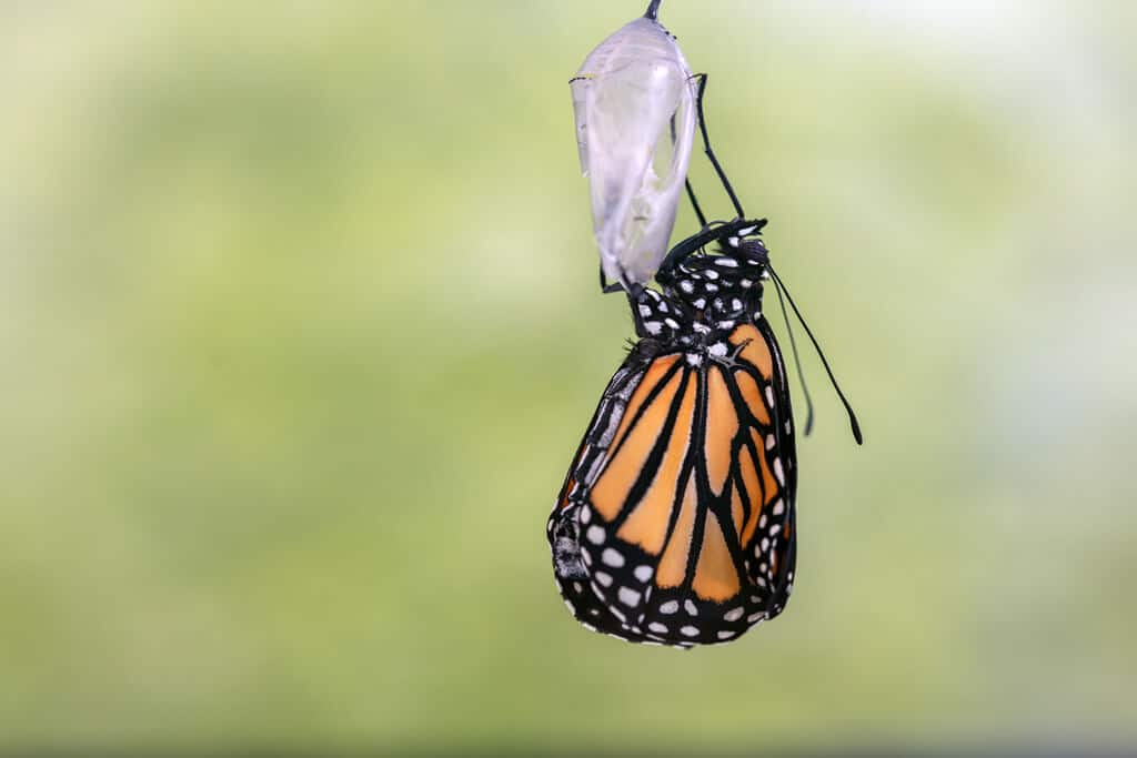 Monarch Butterfly emerging from the chrysalis (1)
