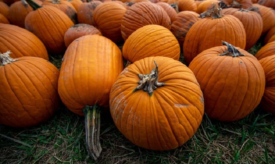 Pumpkins are a good source of proteing for chickens