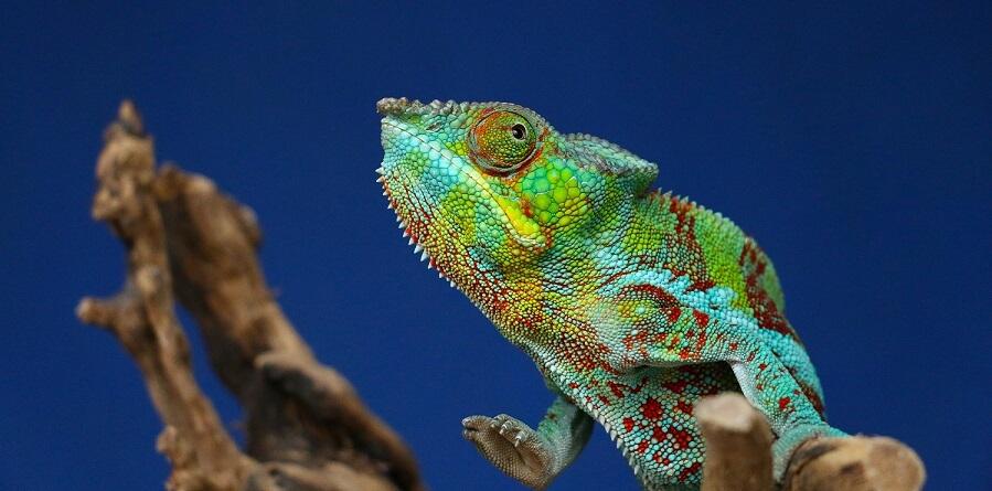 Raising chameleons for money