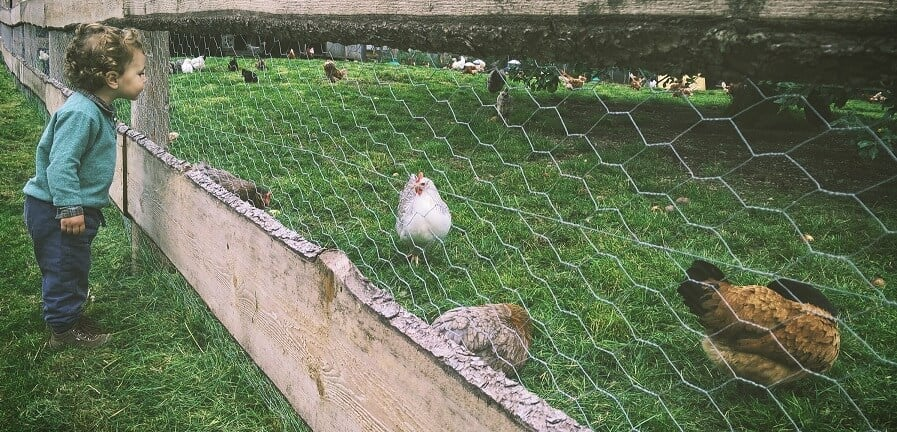 Using Chickens to control grass