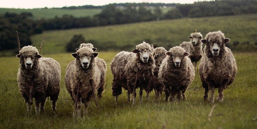 Using Sheep to control grass