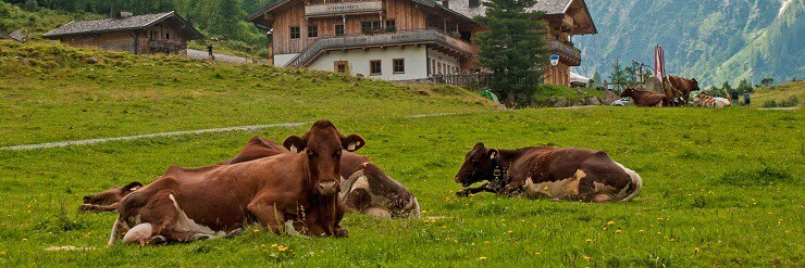 Using cows to control grass
