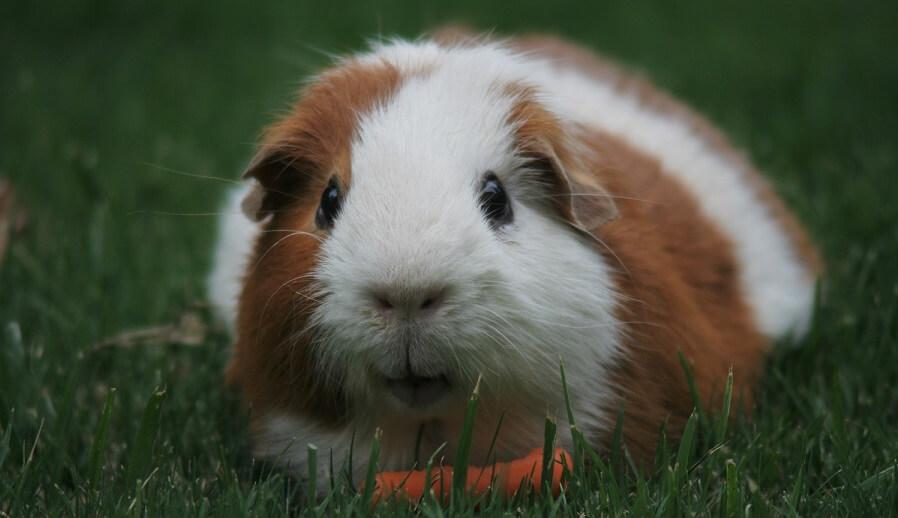 Using guinea pigs to control grass
