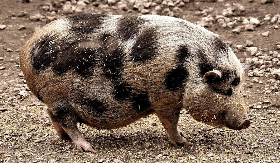 Why Can't Pigs Look Up At The Sky? (And Other Interesting