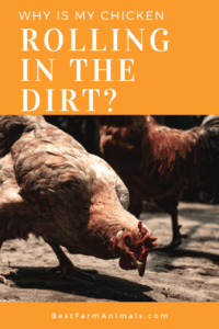 Why do chickens roll in the dirt (1)