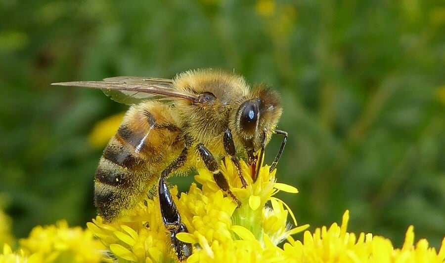 Worker bee collects pollen