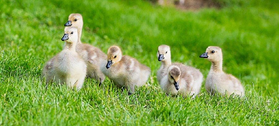 backyard farm animals ducks