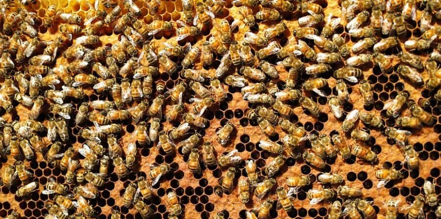 bees capping and making honey
