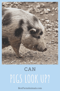 can pigs see the sky (1)
