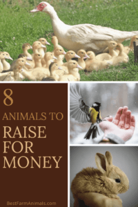 farm animals to raise for money (1)