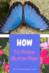 guide to raising butterflies