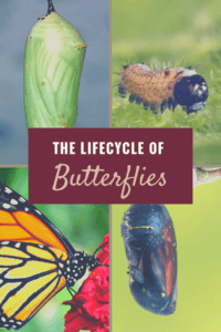 how butterflies grow (1)