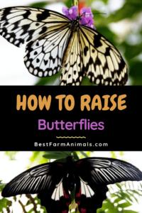 raising butterflies at home