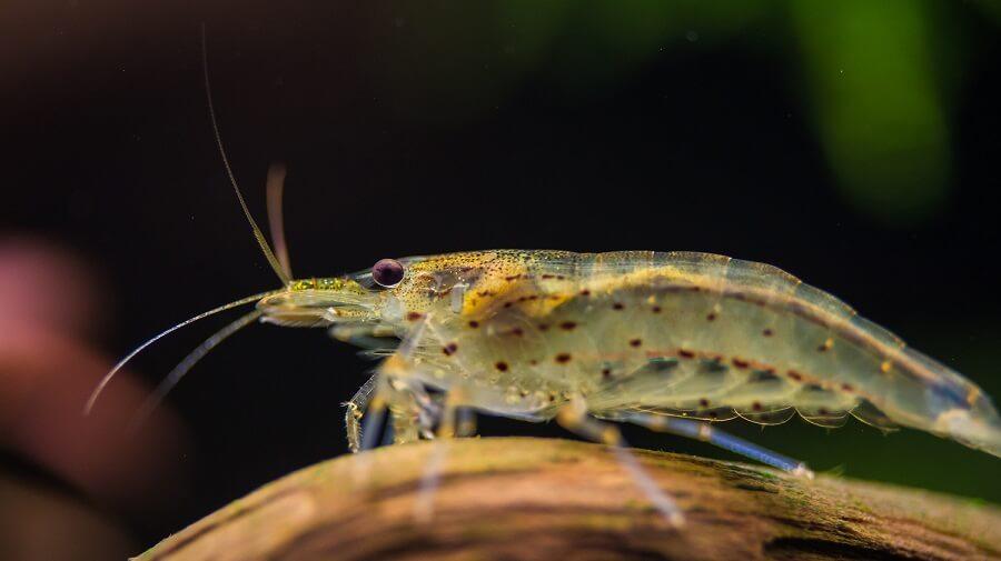 raising shrimp for money